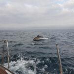 Delfin napotkany podczas rejsu